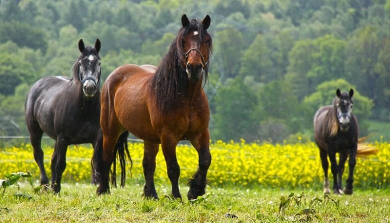 horses-484004_1280
