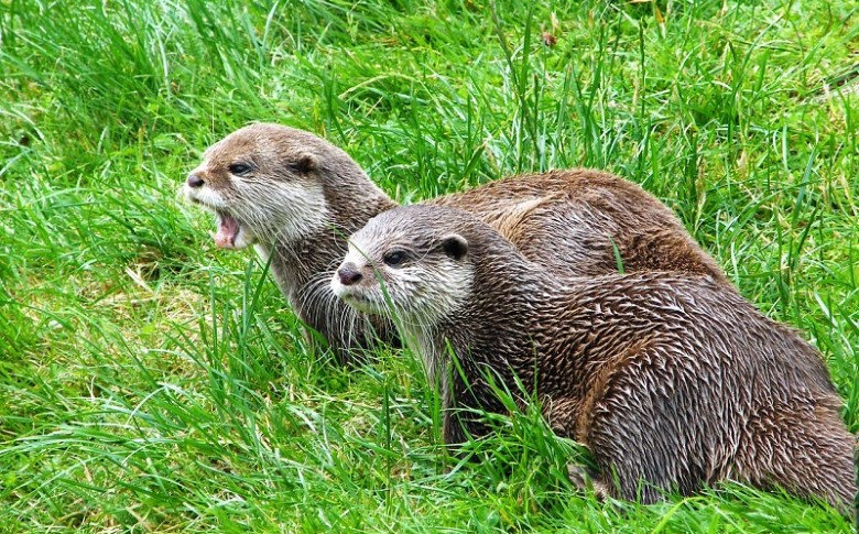otters-397007_1280